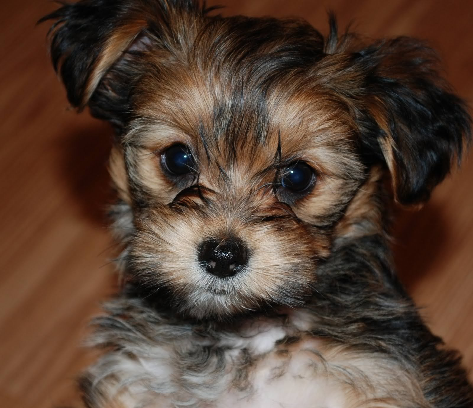 yorkie and shih tzu mix ten most important facts about the shih tzu yorkie mix 5871